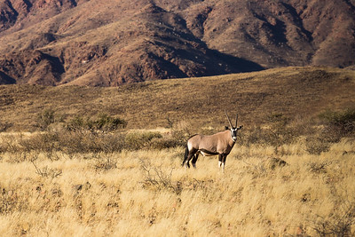 A Lone Oryx in Grasses.