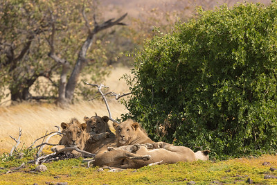 Lions in a Pile