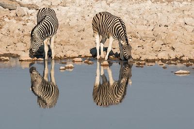 Two Zebras Drinking
