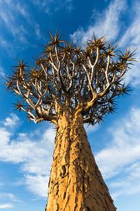 Quiver tree reaches for the sky, Namibia.