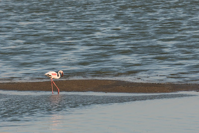 Flamingo wading in wetlands, Namibia.