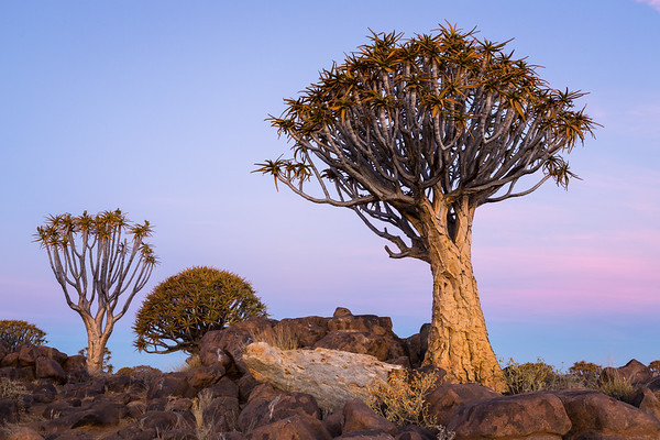 Sunset light on Quiver Tree, Namibia.