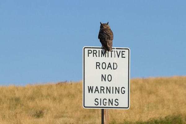 Owl on Primitive Road