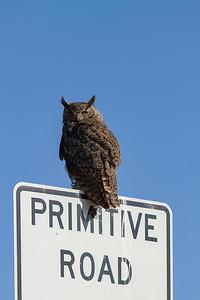 Owl on Primitive Road