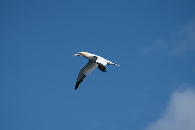 Gannet in Flight, Scotland.