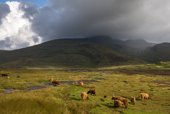 Tidal Marsh and Highland Cows, Scotland.