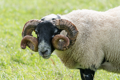 Black-faced Sheep Amazing Horns, Scotland.