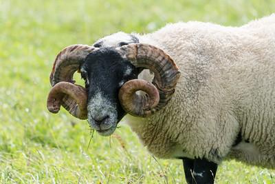 Black-faced Sheep Amazing Horns, Scotland.