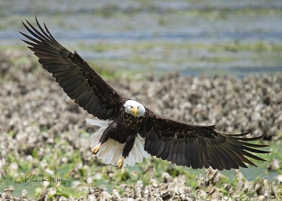Swooping Eagle 0949