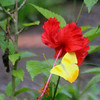 Hibiscus with Butterfly (Orange-barred Sulphur)
