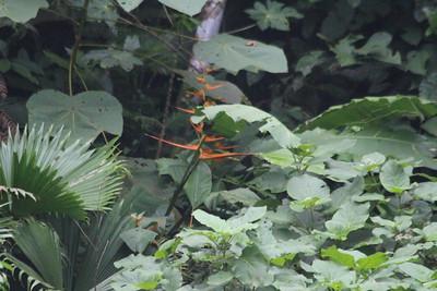 Heliconia  (wild)