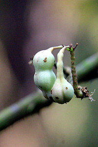 Unidentified Seed or Fruit