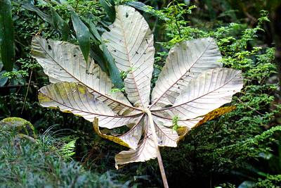 Cecropia Leaf