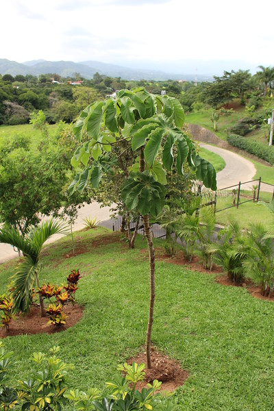 The Cecropia When First Planted 2015