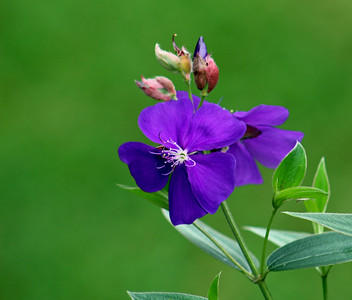 Tibouchina or Princess Flower