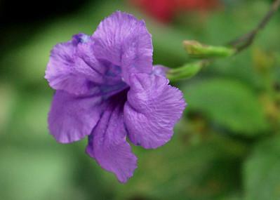 Costa Rica Petunia
