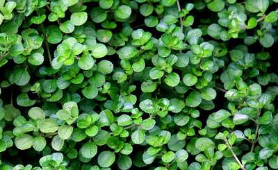 My Favorite Ground-cover Plant
