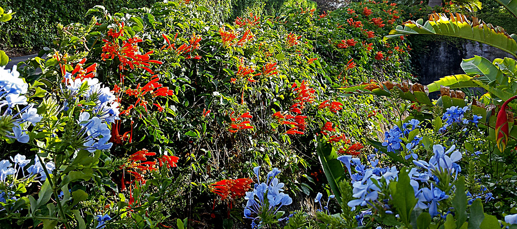 Triquitraque or Flamevine Contrasting with Plumbago