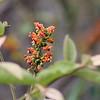 Nance Tree Bloom