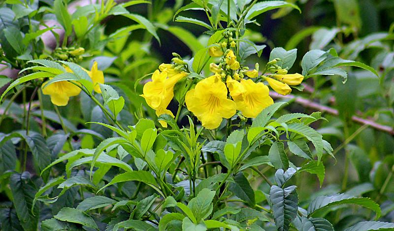 Yellow Bells Tree
