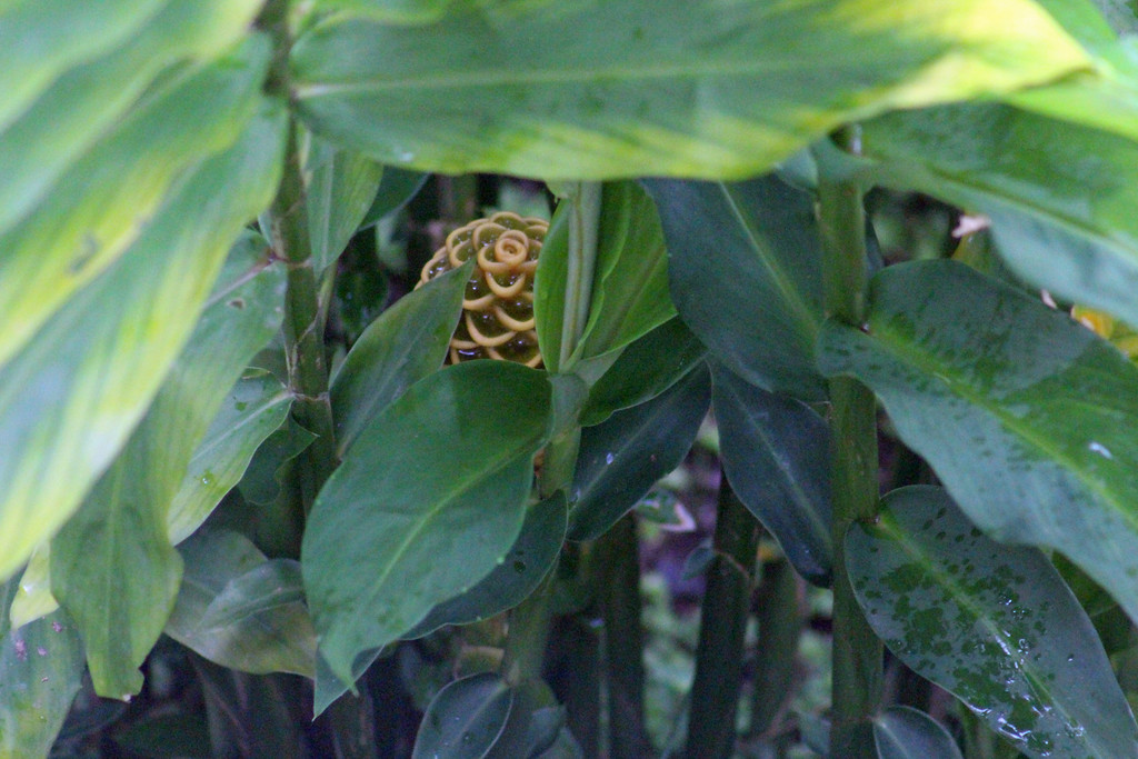 Maraca or Shampoo Ginger's Hidden Flower