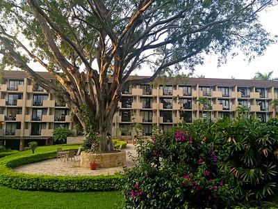 Laurel de la India or Indian Laurel Tree