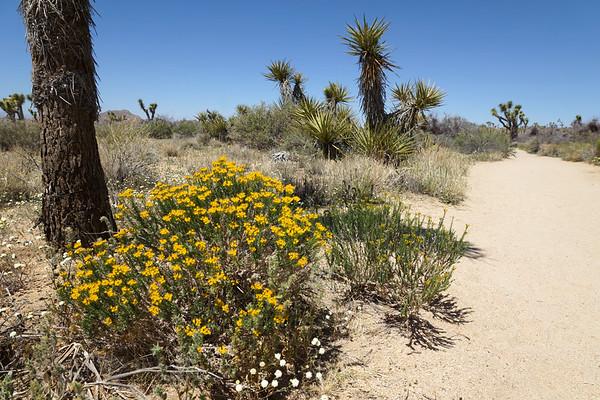 Yellow Flowers in Joshua Tree National park - California