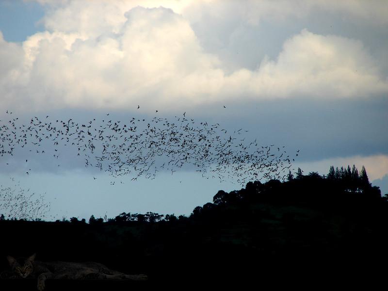 Hawks Hunting Bats