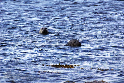 Common Seals - Rousay