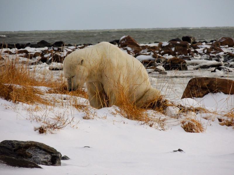 DEATH OF A POLAR BEAR