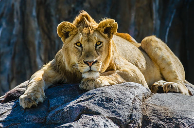 At the Pinnacle (Lion--Tanzania)