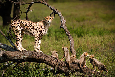 Showing Off Her Family (Cheetah and  Cubs--Tanzania)