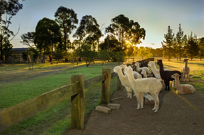 Stedephra Alpaca Over the Fence