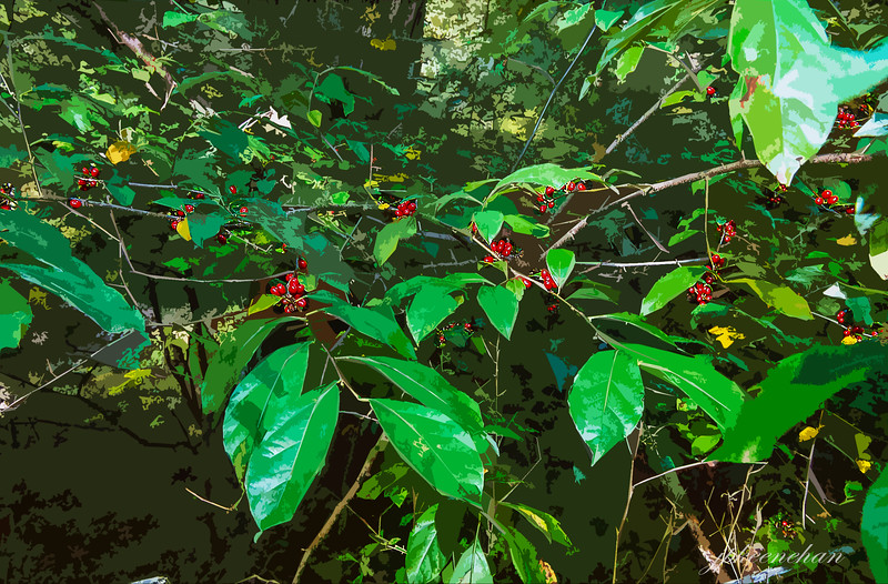 """Things That Caught My Eye"" - Shiny Green Leaves and Red Berries"