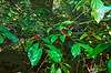 """""""Things That Caught My Eye"""" - Shiny Green Leaves and Red Berries"""