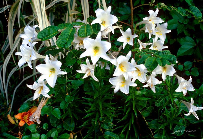 White Daffodills on Ocracoke Island, NC