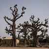 Baobob trees in Dakar, Senegal