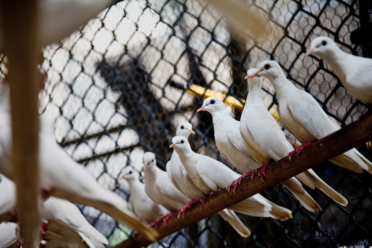 Some of the doves used in the illusionist act.