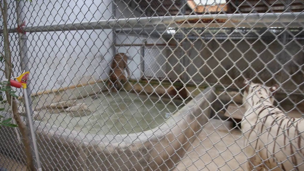 The white tiger is a male, the other a female.  They are not allowed to breed, but are allowed to play together some.  I barely got it, but when the tiger jumps into the water pool she keeps her left paw out of the water.  According to the trainer she has always done that, for no known reason.  He says that she will sometimes lie down in the water (and get all paws wet), but whenever she runs through it, she always raises her left front paw.  Go figure.<br /> <br /> NOTE:  If you have any difficulty watching this video (or any of the videos), please leave a comment to let me know what happens.  If it takes a few minutes to buffer, that can be par for the course, but if it then freezes on playback (or anything else), please let me know.  Thanks!