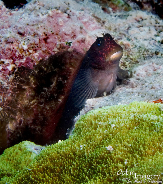 "A Red-speckled blenny (Cirripectes variolosus) comes up to say ""Thanks, Mary!"""