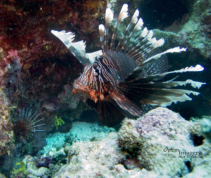 Lionfish (Pterois volitans).  You can also see a smaller Spotfin lionfish (Pterois antennata) in the background to your left.