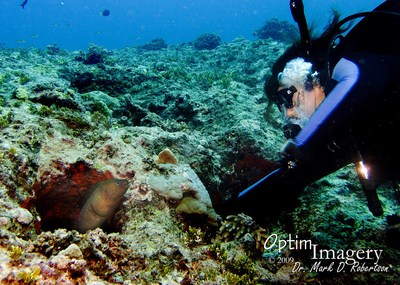 """There are usually a couple of """"resident eels"""" here.  We were about to conclude that this year they had left, or died.  But leave it to Rose, if there is an eel anywhere around, to find it!  Giant moray (Gymnothorax javanicus)."""