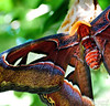 Atlas Moth.