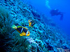 """""""I think it is passed.  Safe now.""""  Orangefin anemonefish (Amphiprion chrysopterus)."""