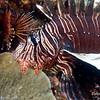 Foreground is same lionfish as in the last shot.  In the background is a Spotfin lionfish (Pterois antennata).