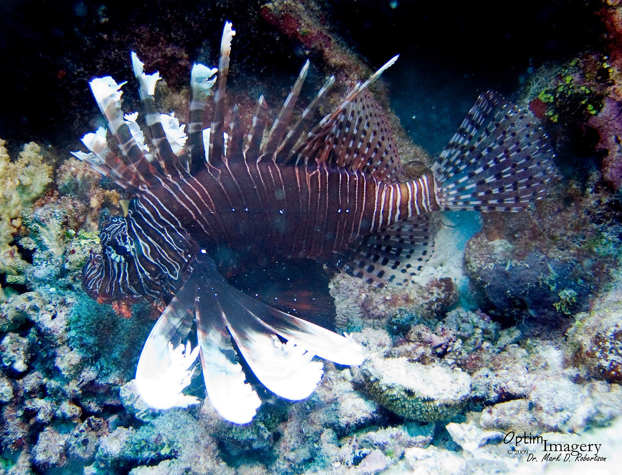 Not one of my best lionfish shots, but Rose did indeed find a nice fish!