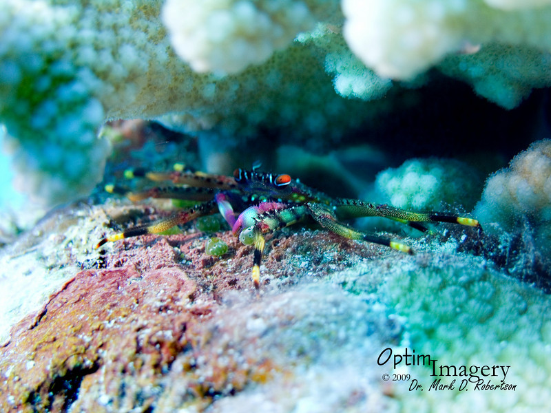 I was quite lucky to get a halfway decent shot of this guy, and I can't seem to find him in my ID book, so I'm not sure what species of crab this is.  If you think you may know, please leave a comment below.  He was hiding under a coral, where it was virtually impossible to focus or get adequate flash onto him.  Also on this dive, Rose pointed out some colorful little crabs like I have never seen, but they were so deep in the coral that no photos turned out very good at all.  So there is a challenge for the next time we dive here in non-surge conditions.