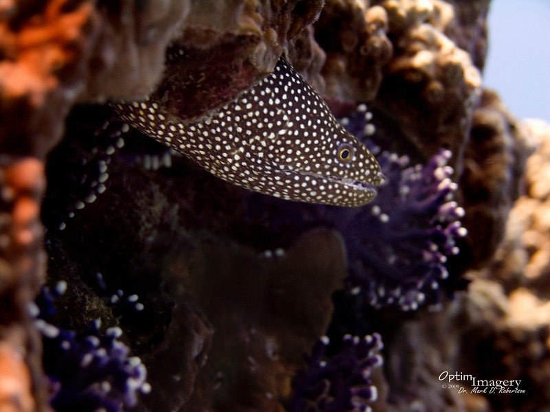 Whitemouth moray.  No, he did not just enjoy a Lemonpeel angelfish meal prior to this photo.
