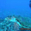 Please take about a minute and a half to swim along with our friend, the Hawksbill sea turtle.