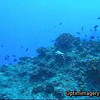 While my video capabilities are not great, this shot shows the profusion of life on this reef better than anything I can do with a still.  Notice all the Palette surgeonfish swimming about.  The clip ends with Bob on his safety stop.